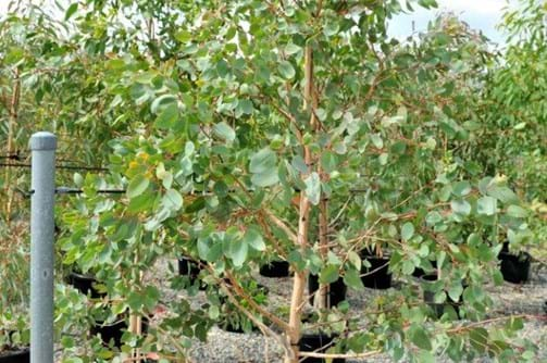 Eucalyptus Tereticornis forest red gum